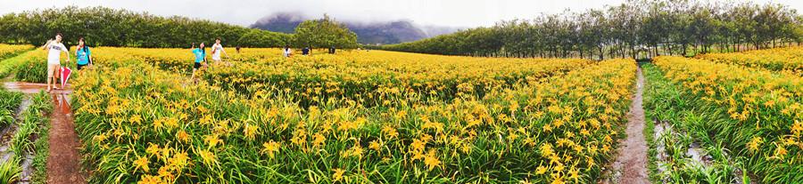 南投魚池景點 | 日月潭金針花海 二公傾超大金針花季開始囉 九月來當一日農夫
